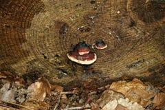 Paddestoel op een boom Royalty-vrije Stock Fotografie