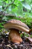 Paddestoel van boleetaereus (Porcini, Porcino, Eekhoorntjesbrood, Steinpilz) 2 royalty-vrije stock foto's