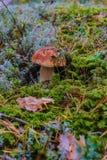 Paddestoelboleet over Houten Achtergrond Autumn Cep Mushrooms Kokende heerlijke organische paddestoel Gastronomisch voedsel stock afbeelding