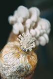 Paddestoelcultuur het groeien in de cultuur van de landbouwbedrijfpaddestoel in het organische landbouwbedrijven Verse paddestoel royalty-vrije stock afbeeldingen