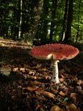Paddestoelen in bos stock afbeelding