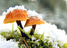Paddestoelen in de winter Stock Fotografie