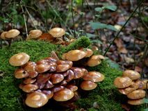 Paddestoelen die op mos behandelde boomstomp groeien Royalty-vrije Stock Foto's