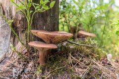 Paddestoelen in het bos Royalty-vrije Stock Afbeeldingen