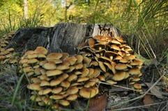 Paddestoelen in het bos Als paddestoelen uit de grond schieten De herfst Eetbare en giftige paddestoelen Stock Fotografie