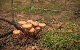 Paddestoelen in het de herfstbos stock fotografie