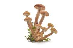 Paddestoelen (mellea Armillaria) Stock Fotografie
