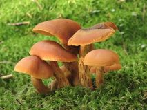 Paddestoelen in mos Stock Foto