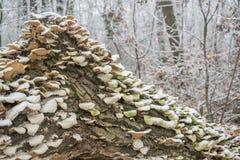 Paddestoelen op boom op een ijzige dag van de sneeuwwinter in het bos Stock Foto