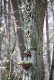 Paddestoelen op een boom Stock Fotografie