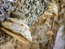 Paddestoelen op een boom Royalty-vrije Stock Afbeeldingen