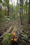 Paddestoelen op een boomstomp Stock Afbeeldingen