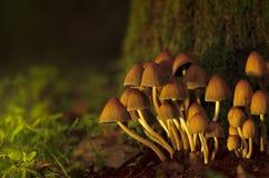 Paddestoelkolonie in schaduwrijk bos Royalty-vrije Stock Afbeelding