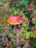Paddestoelvlieg onder de toendravegetatie van Kola Peninsula Royalty-vrije Stock Foto's