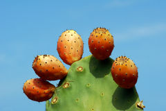 Paddle cactus in Corfu island Stock Photography