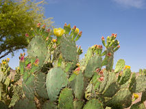 Arizona Paddle Cactus. Blooming Prickly Pear Cactus in Spring Desert, Arizona royalty free stock photo