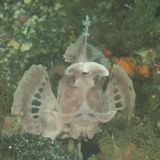 Paddle-flap scorpionfish Royalty Free Stock Photos