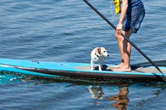 Paddle Surfing. Woman practicing paddle surf with her dog on the surfboard Royalty Free Stock Photos