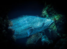 Paddle tail fish Royalty Free Stock Photos