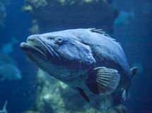 Paddle tail fish Stock Image