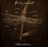 Paddle-tailed Darner Aeshna palmata Old Fashioned Anatomy Illustration. In Sepia royalty free stock images