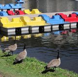 Paddleboats and geese Stock Image