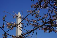 Washington Monument  behind cherry blossoms Royalty Free Stock Images