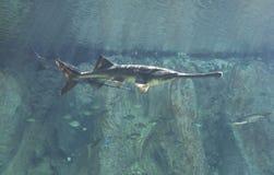 Paddlefish Royalty Free Stock Images
