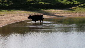 Paddling Galloway cow, Bisonbaai near Nijmegen stock video