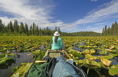 Paddling Through Lily pads in the Wilderness Stock Photo