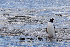 Paddling penguin Royalty Free Stock Photography