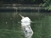 Paddling swan stock image