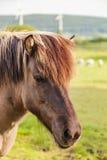 Paddock пони i Брайна Стоковая Фотография