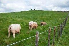 paddock свиньи стоковое изображение rf