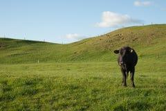 paddock черной коровы уединённый Стоковое Изображение RF