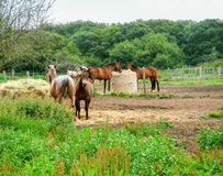Paddock in Brittany. Paddock with some horses in Brittany, france Stock Photos