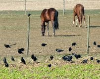 Paddock with 2 brown grazing horses and ravens. Horses and ravens eating, Coexistence between horse and raven, A group of black ravens at 2 brown horses, horse stock images