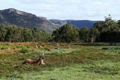 Paddock met Kangoeroes en omringende heuvels Stock Fotografie