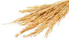 Paddy. Or rice grain (oryza) isolated on white background royalty free stock photo