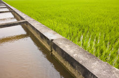 Paddy. An abstract view paddy rice field royalty free stock photography