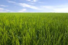 Paddy. Photo of green paddy rice field stock image