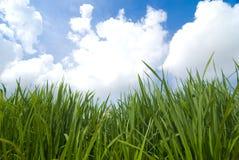 Paddy. A photo of paddy rice field royalty free stock photo