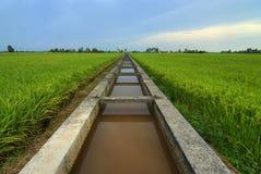 Paddy. Nature photo of paddy rice field stock photography