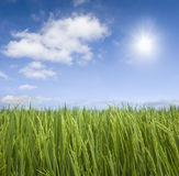 Paddy. A close up photo of paddy rice field royalty free stock images