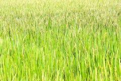 paddy Imagem de Stock