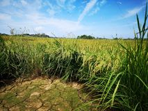 Paddy, also called rice paddy, small, level, flooded field used to cultivate rice in southern and eastern Asia. Closeup a paddy field is a flooded parcel of royalty free stock images