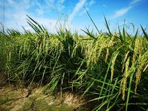 Paddy, also called rice paddy, small, level, flooded field used to cultivate rice in southern and eastern Asia. Closeup a paddy field is a flooded parcel of royalty free stock photos