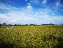 Paddy, also called rice paddy, small, level, flooded field used to cultivate rice in southern and eastern Asia. Closeup a paddy field is a flooded parcel of stock images