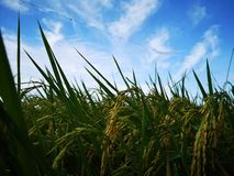 Paddy, also called rice paddy, small, level, flooded field used to cultivate rice in southern and eastern Asia. Closeup a paddy field is a flooded parcel of royalty free stock photography