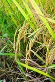 Paddy auf der Reispflanze Lizenzfreie Stockfotografie